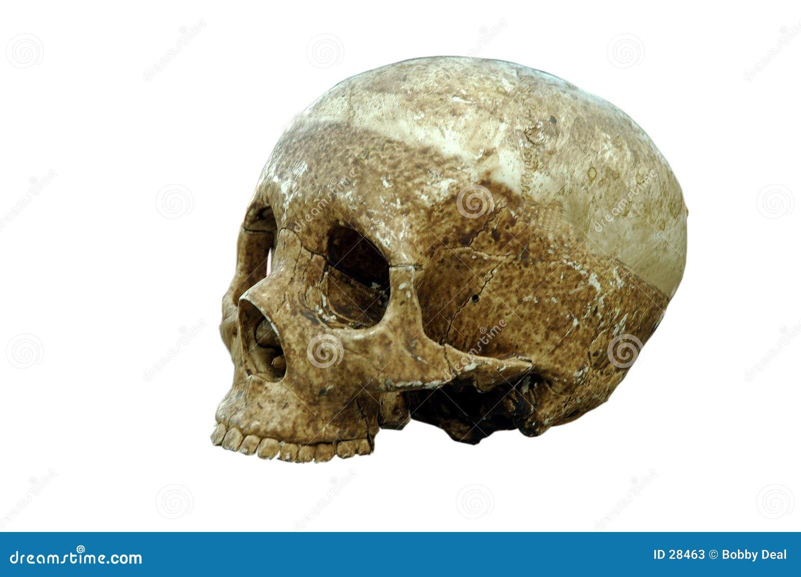 Download El cráneo imagen de archivo. Imagen de carrocería, solitario - 28463