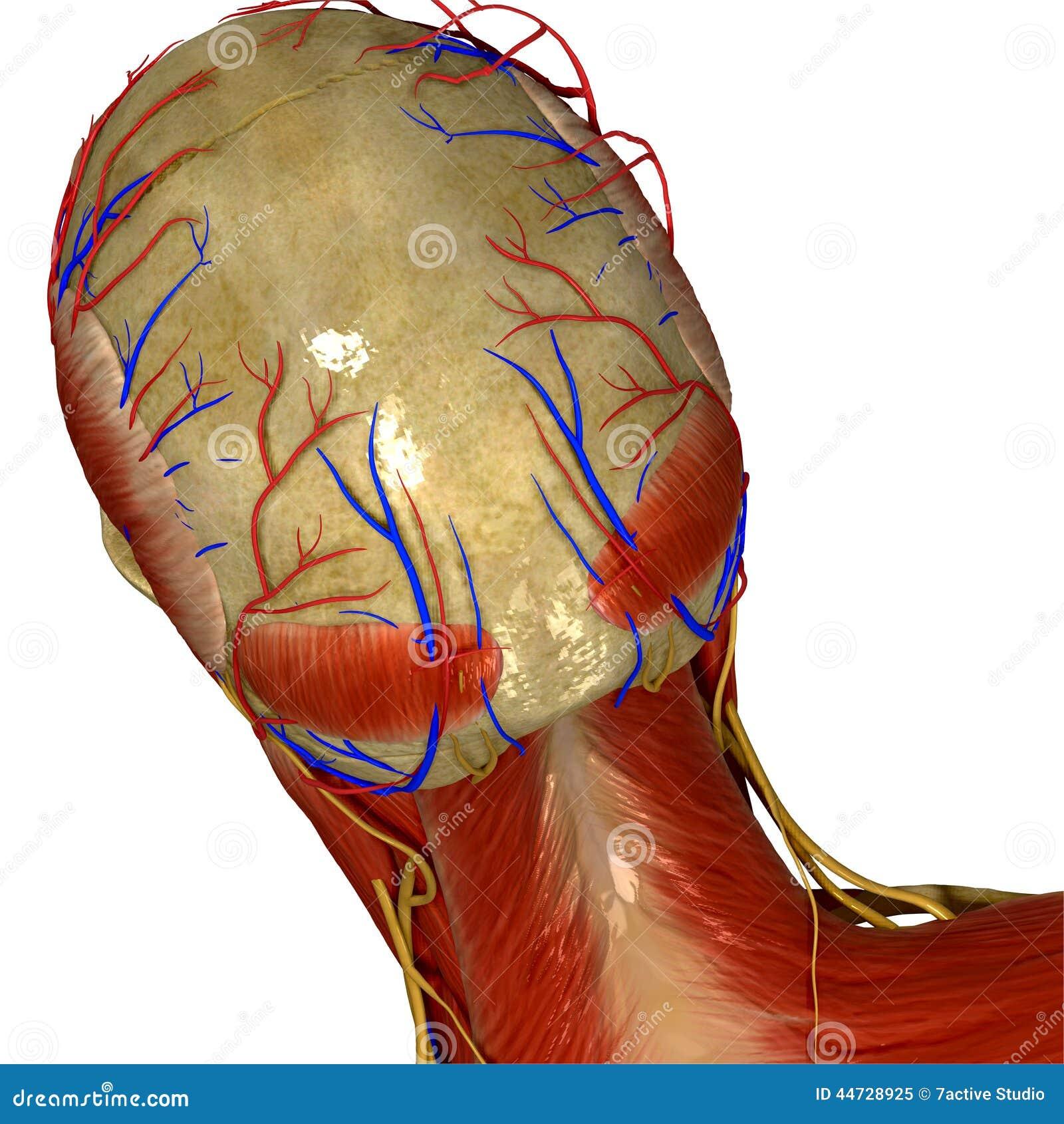 El Cráneo Con Los Músculos Y Los Nervios Apoyan La Visión Stock de ...