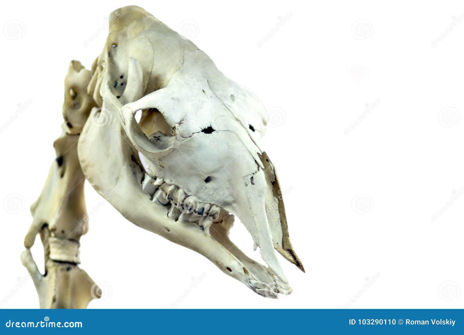 El Cráneo De Un Camello Es Primer Imagen Aislada Para Un Tema ...