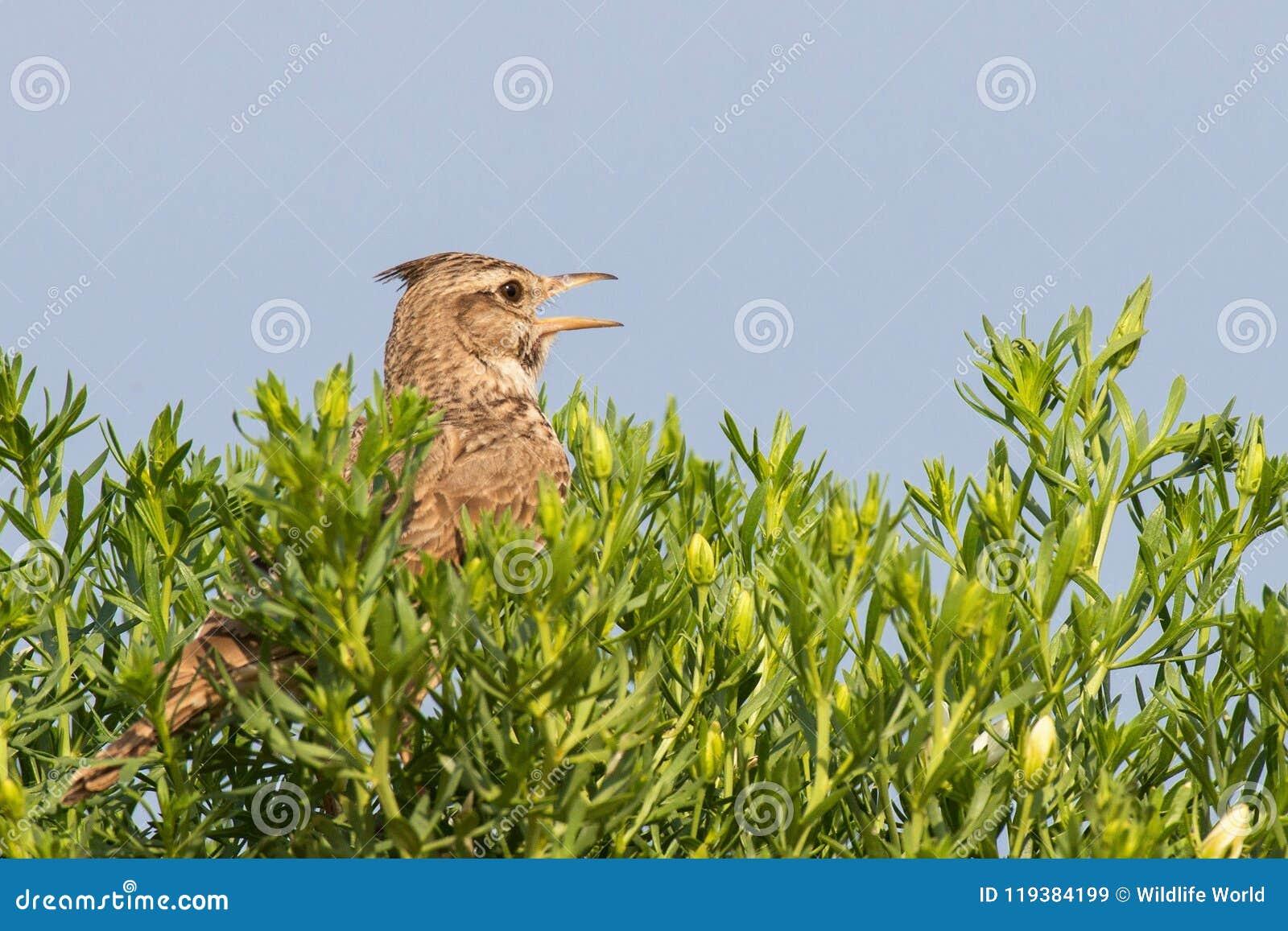 El cristata con cresta de Galerida de la alondra canta sentarse en la hierba