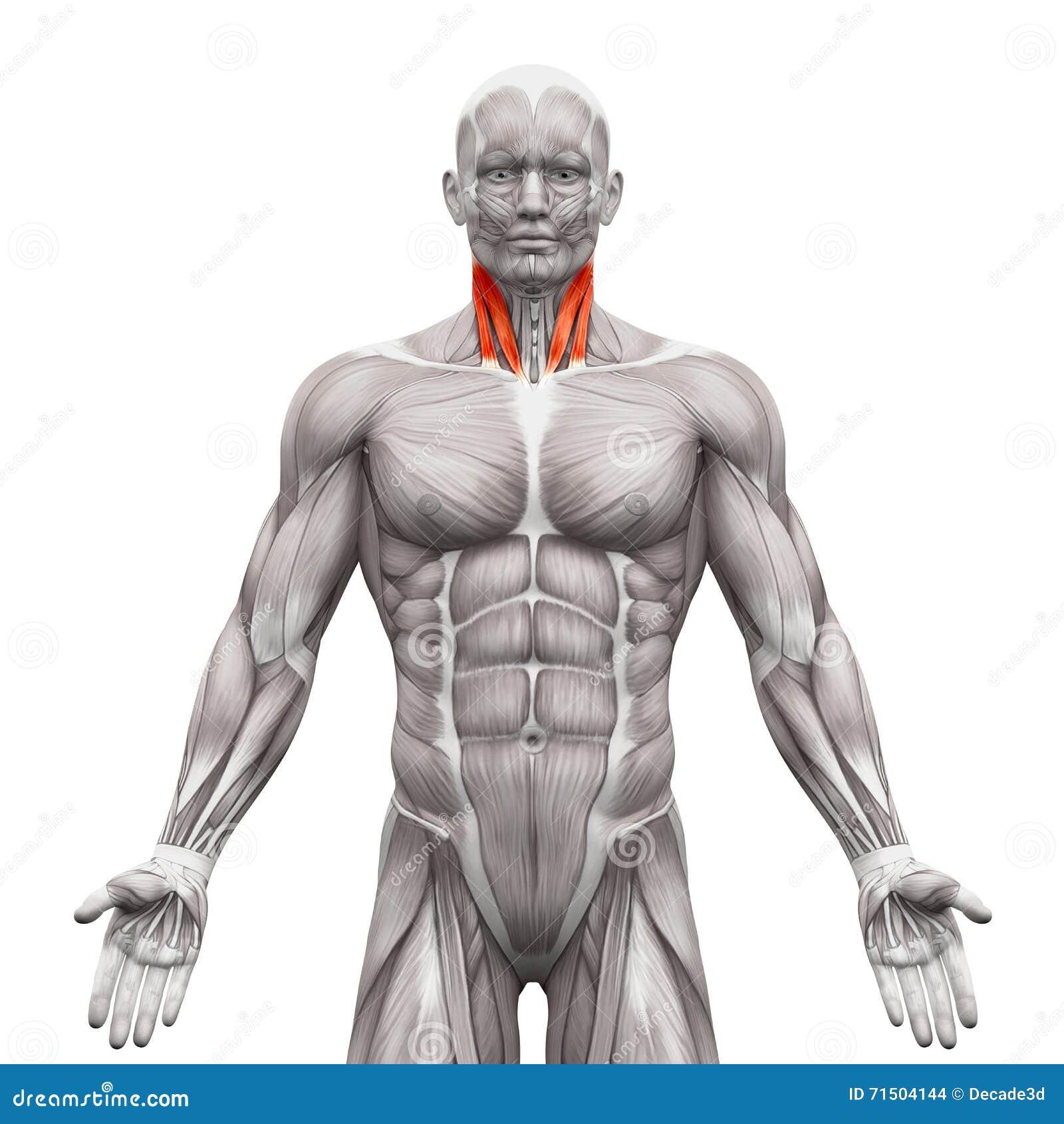Diagrama De Los Músculos De La Cabeza Humana Y Del Cuello Foto de ...
