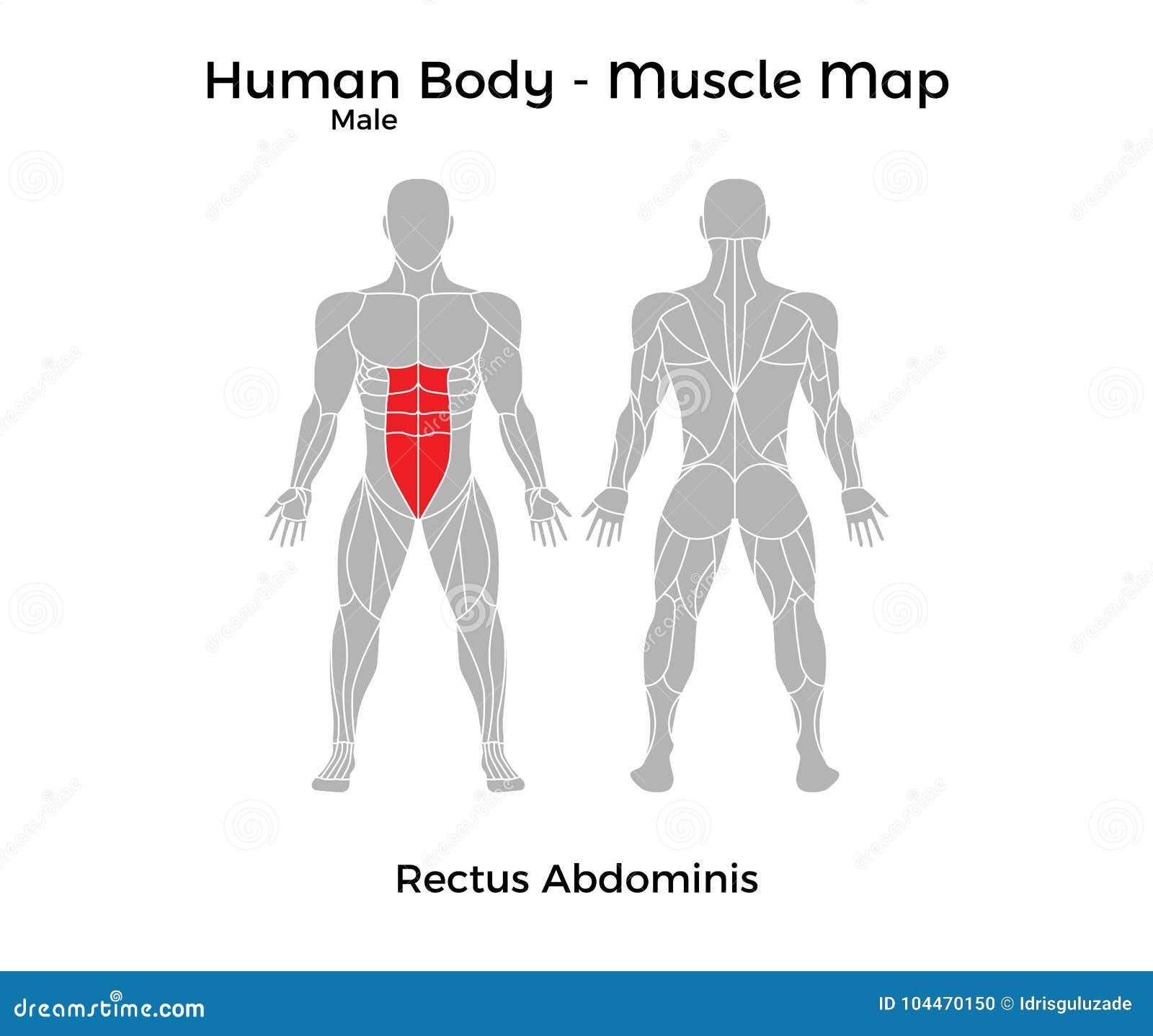 El Cuerpo Humano Masculino - Muscle El Mapa, Músculo Recto Abdominis ...
