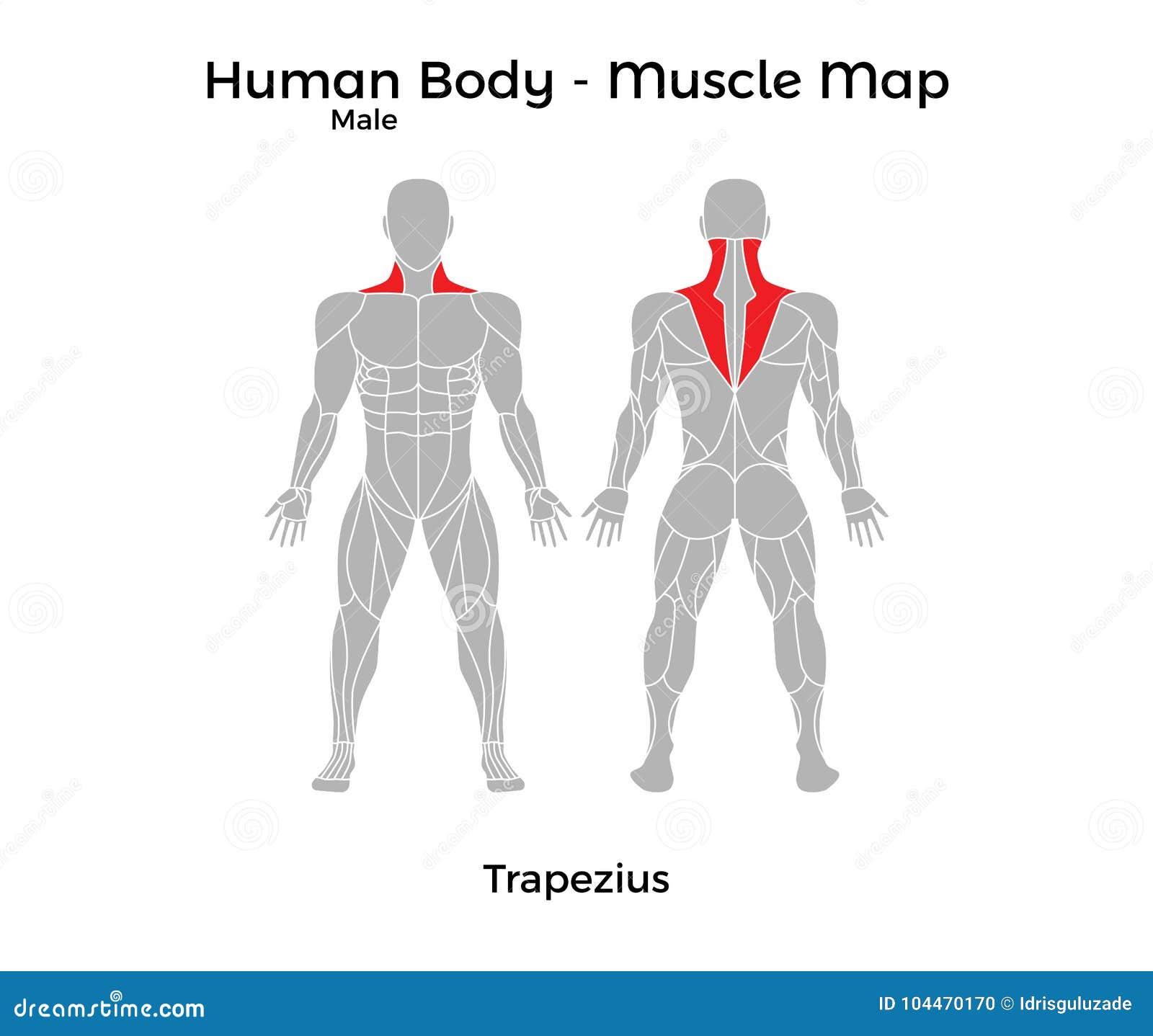 El Cuerpo Humano Masculino - Muscle El Mapa, Trapecio Ilustración ...