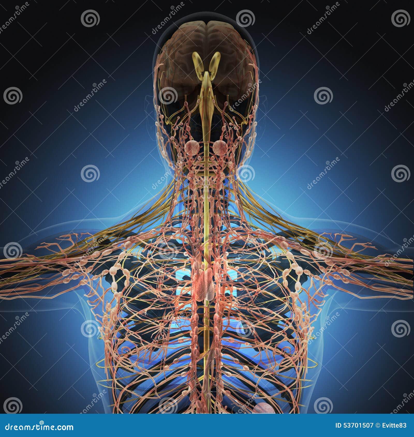 Lujo Apéndice Cuerpo Humano Ornamento - Anatomía de Las Imágenesdel ...
