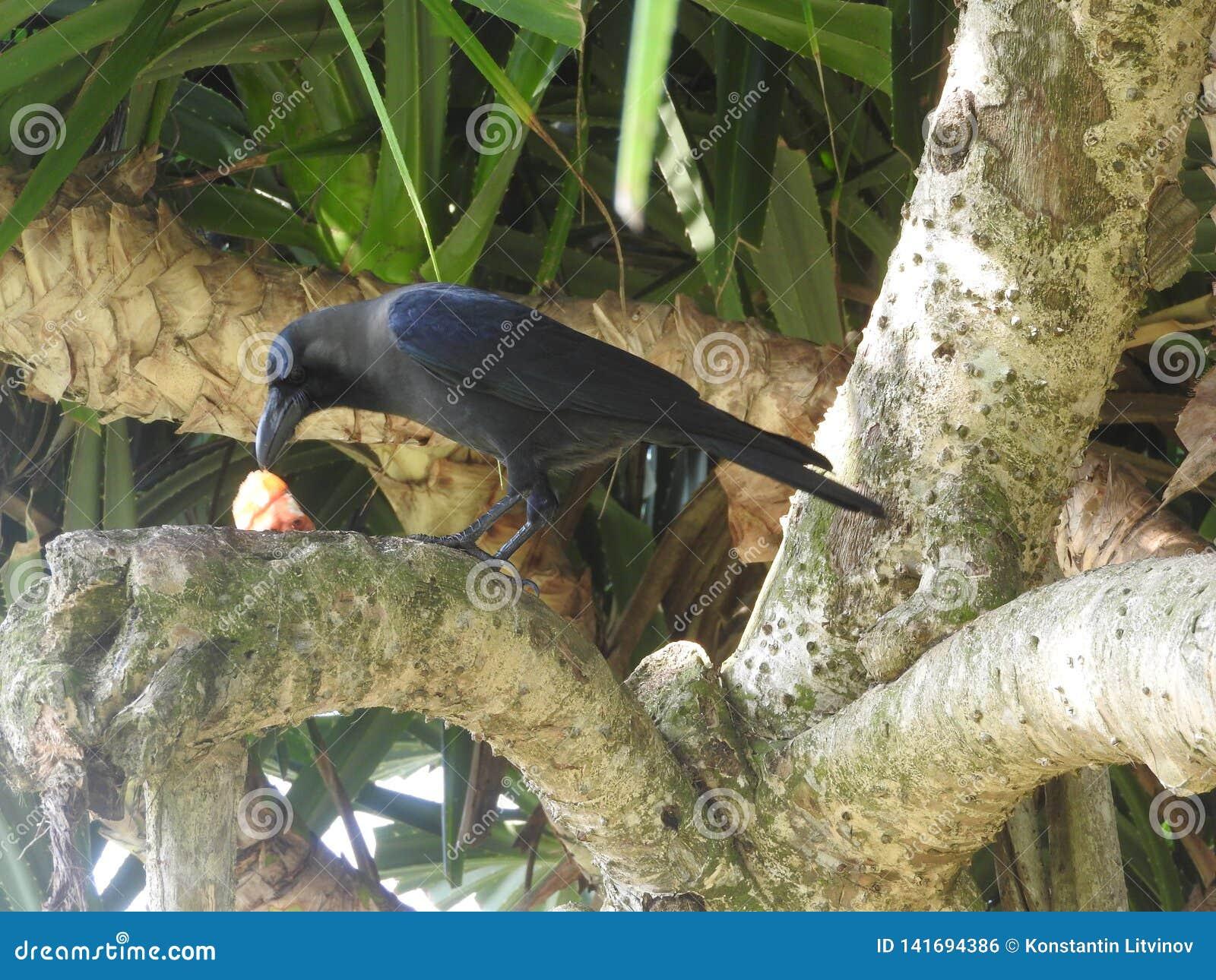 El cuervo negro come puntualmente la presa en la hierba, una rama, Sri Lanka