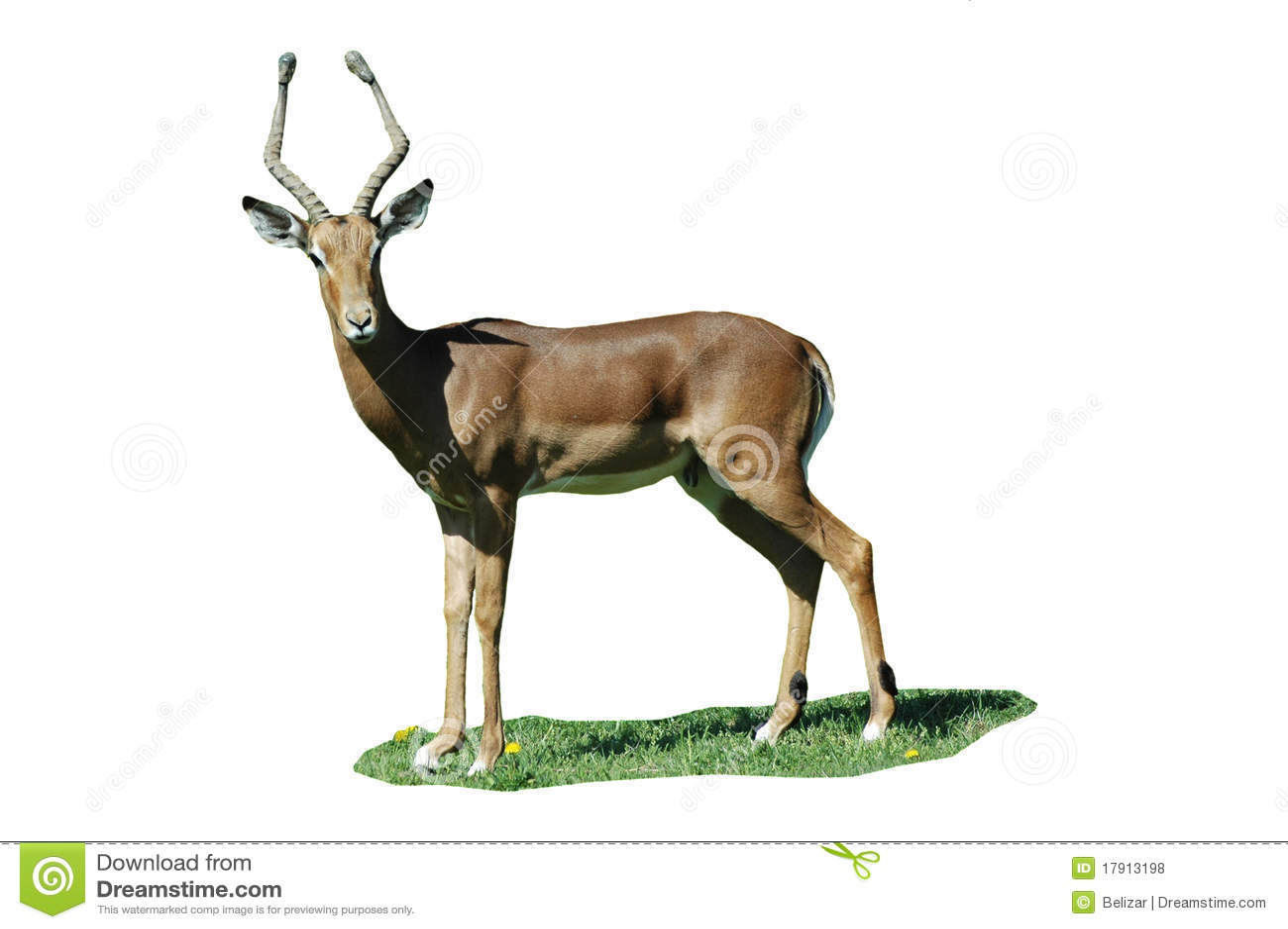 El dólar del impala (melampus del Aepyceros) aisló
