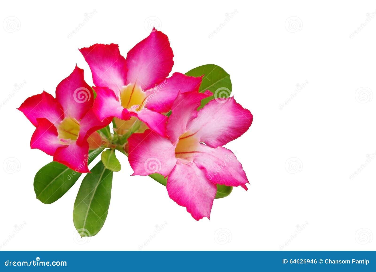 El desierto subió (lirio de impala, azalea falsa) flor del rosa aislada en w