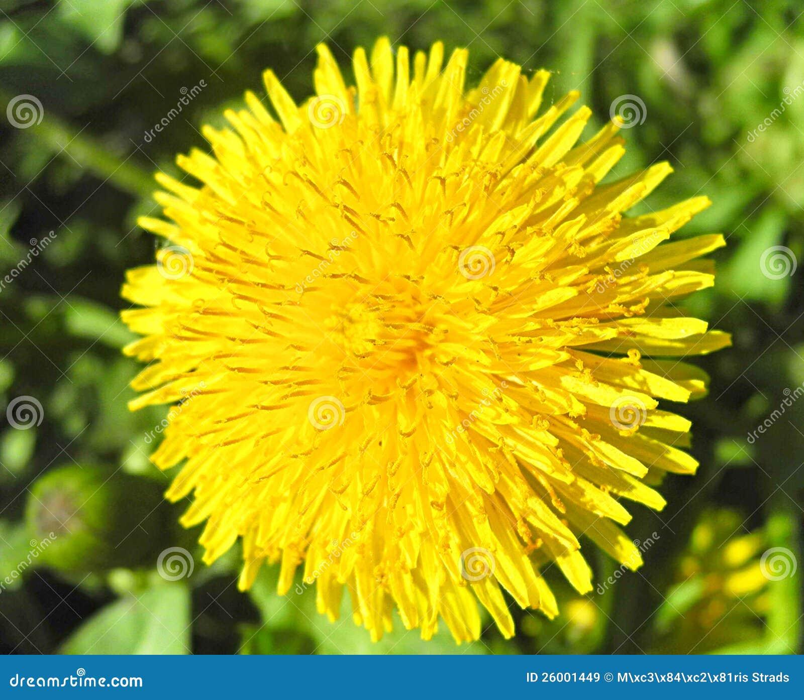 El diente de león amarillo