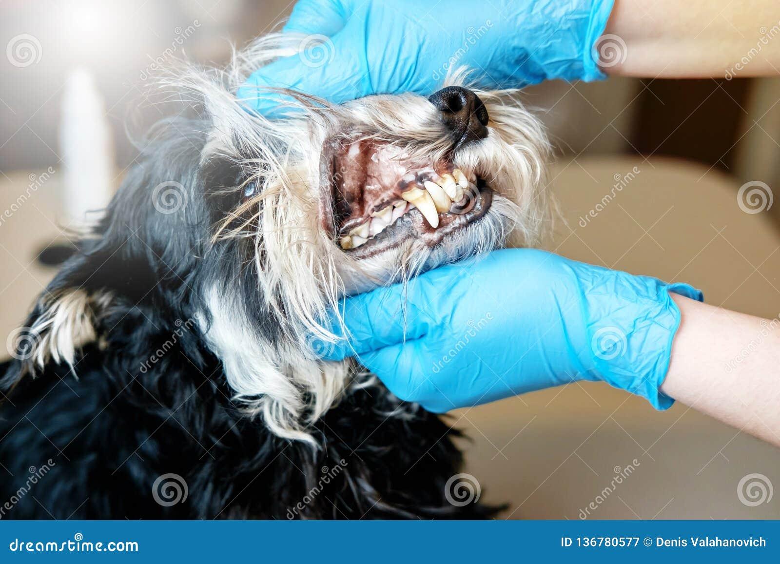 El doctor examina los dientes de un perro