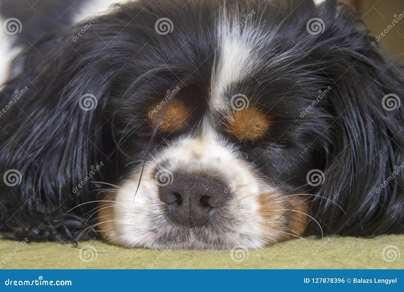 El dormir arrogante masculino del perro de rey Charles Spaniel