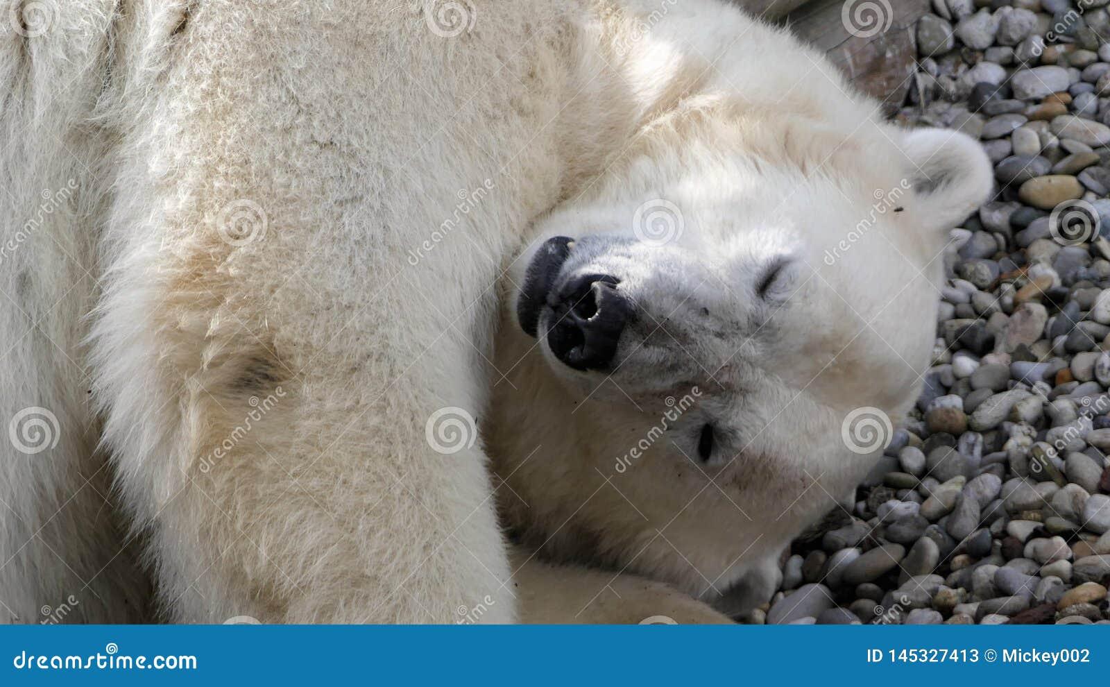 El dormir del oso polar