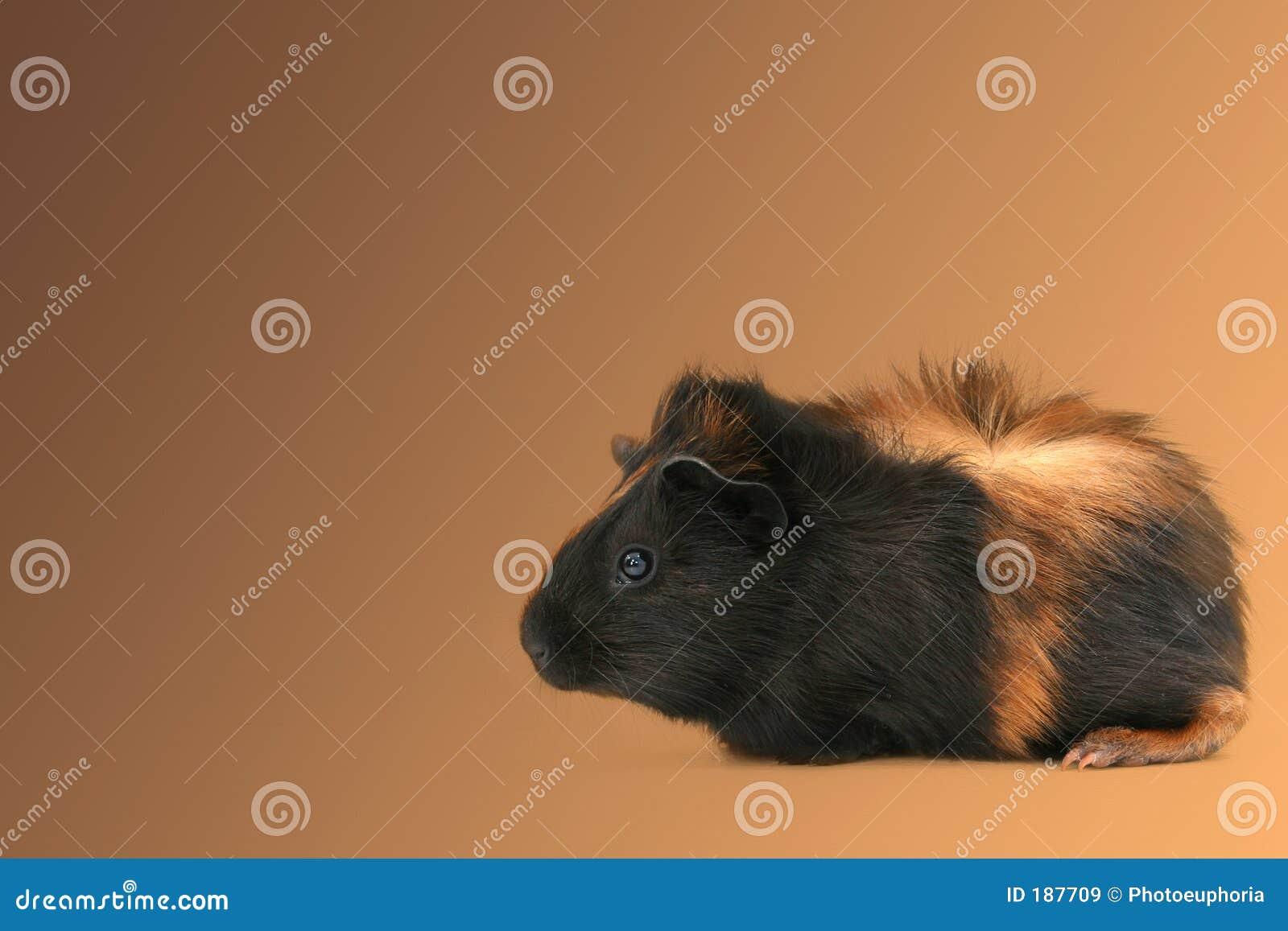 El Dr. Fuzz (conejillo de Indias del animal doméstico)