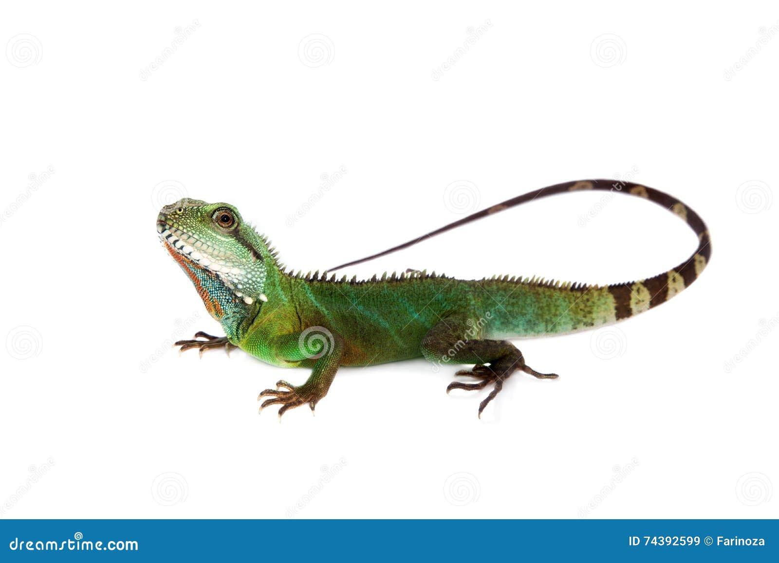 El dragón de agua australiano en el fondo blanco