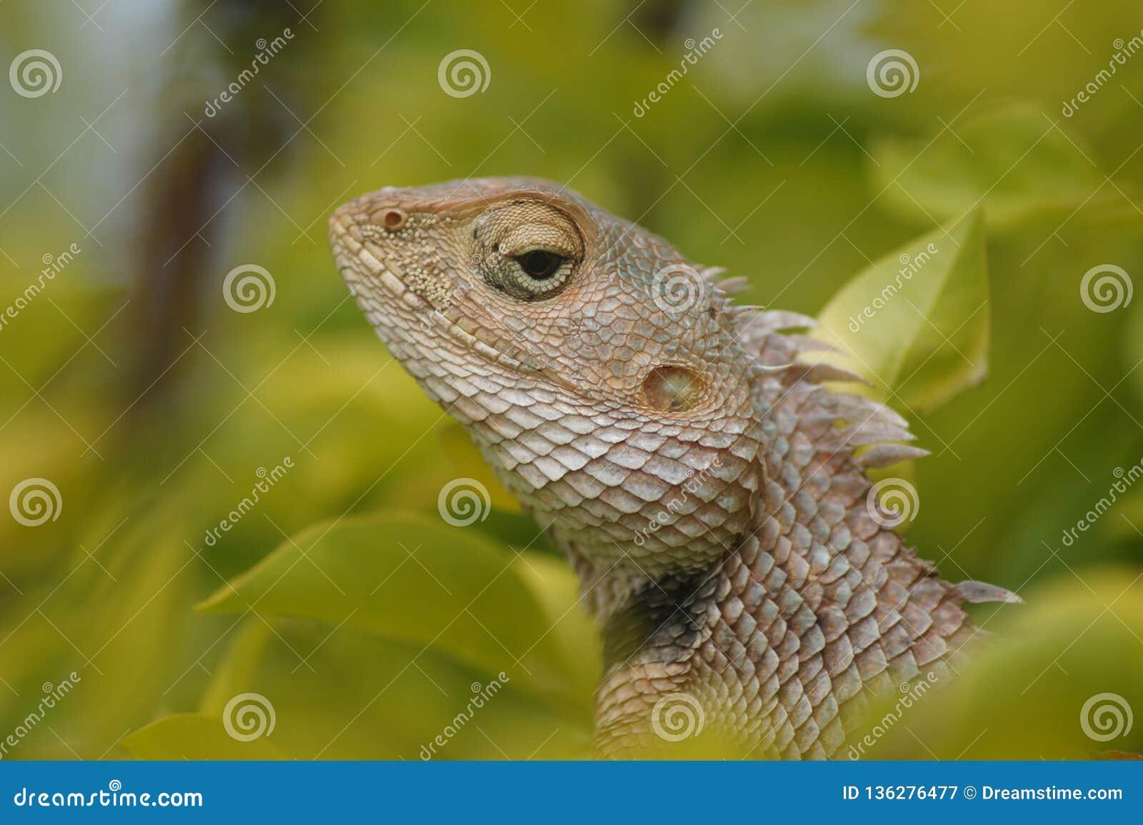 El dragón que da mirada grave