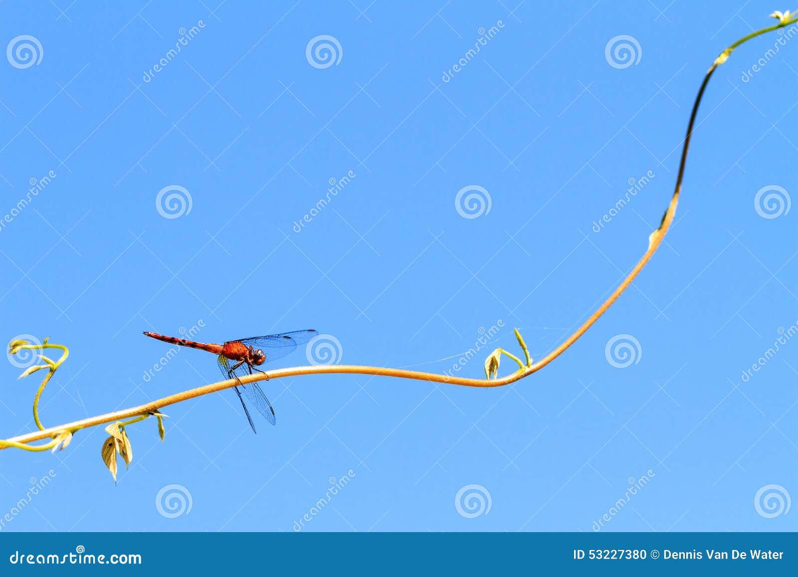 El dropwing Anaranjado-con alas