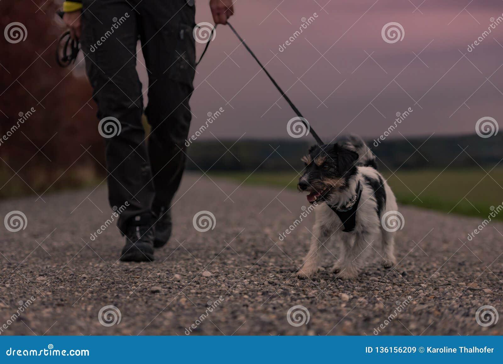 El dueño va con un perro que camina en el otoño en la oscuridad con la antorcha oída - terrier de Russell del enchufe
