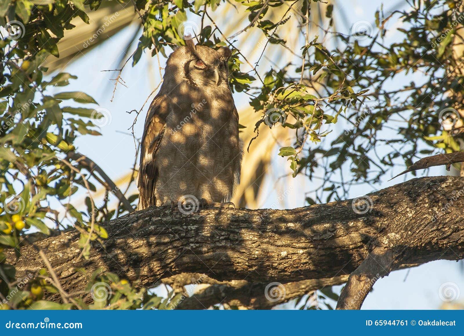El Eagle-búho de Verraux salvaje