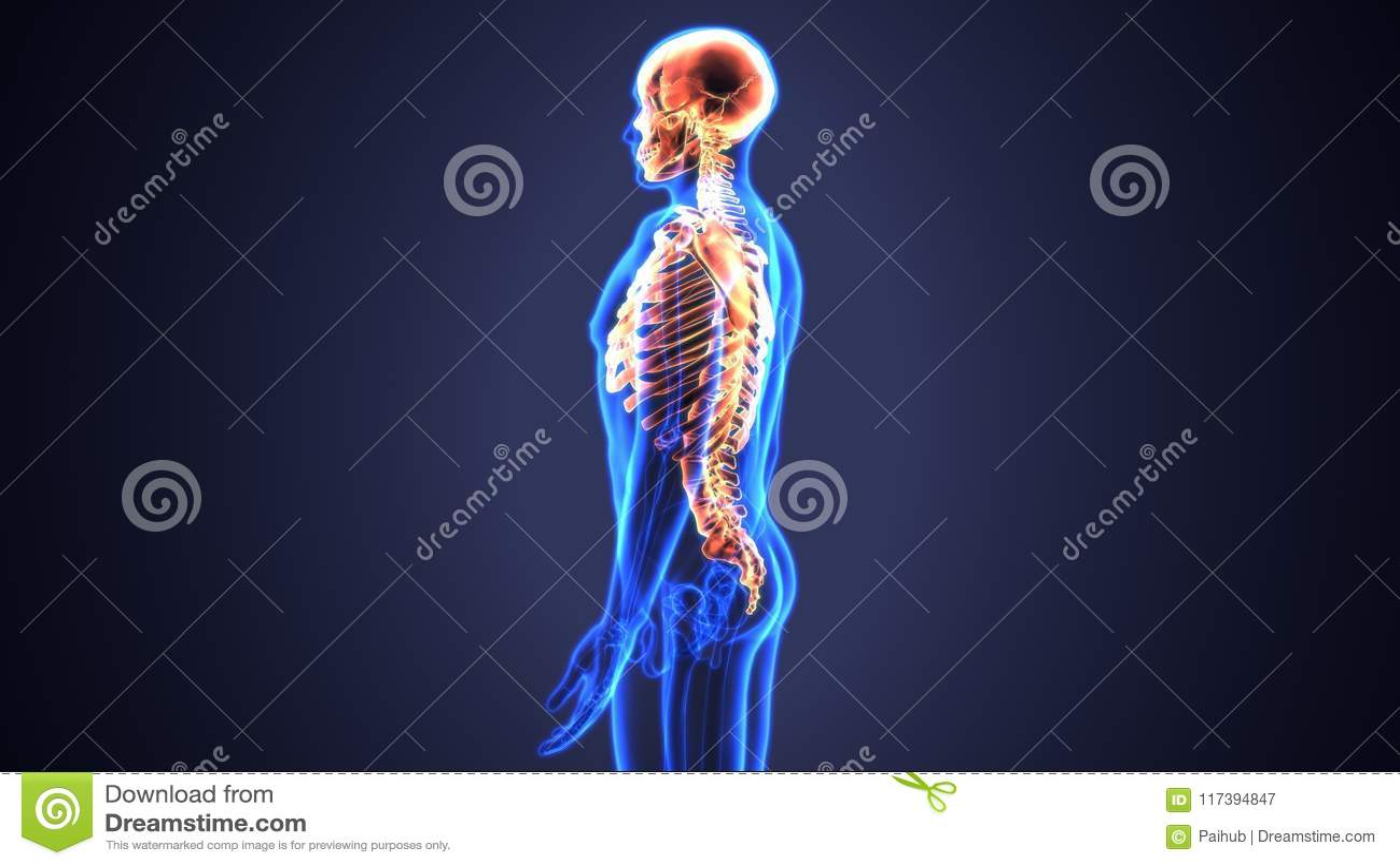El Ejemplo 3d Del Esqueleto Axial Incluye: Cráneo, Columna Vertebral ...