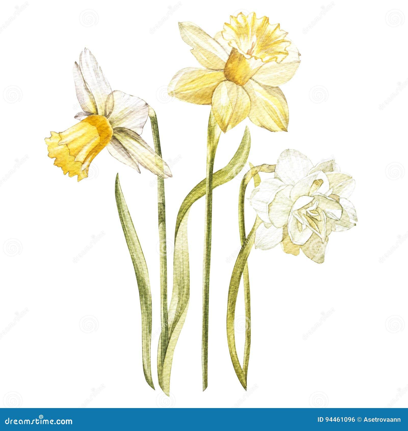 El ejemplo en acuarela de un narciso florece el flor Tarjeta floral con las flores Ejemplo botánico