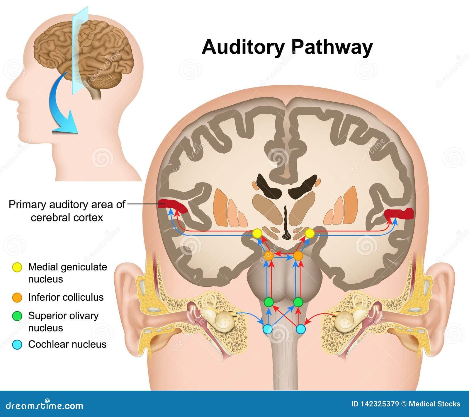 El ejemplo médico del camino auditivo en el fondo blanco