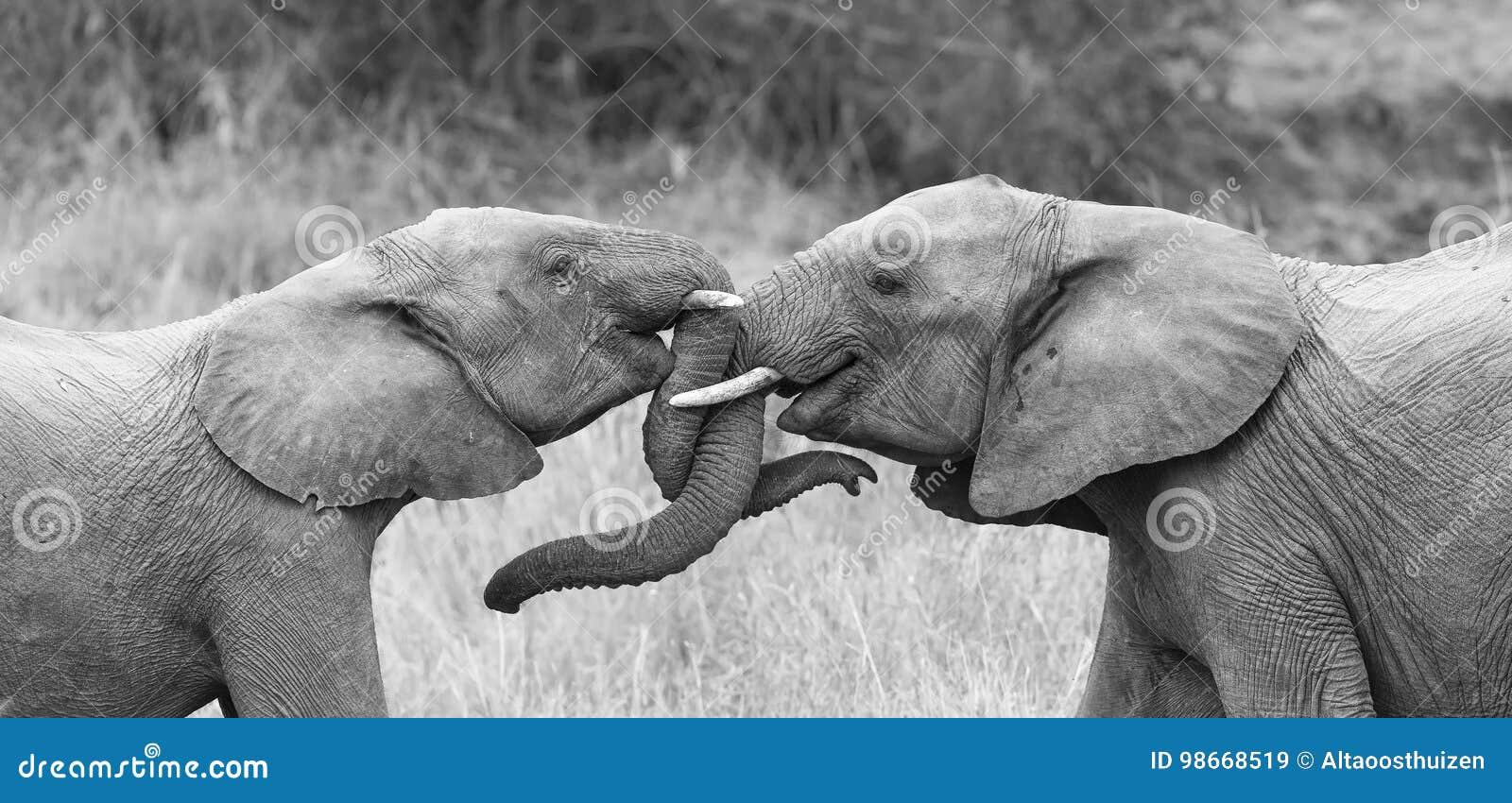 El elefante dos saluda cariñoso con encresparse y troncos conmovedores