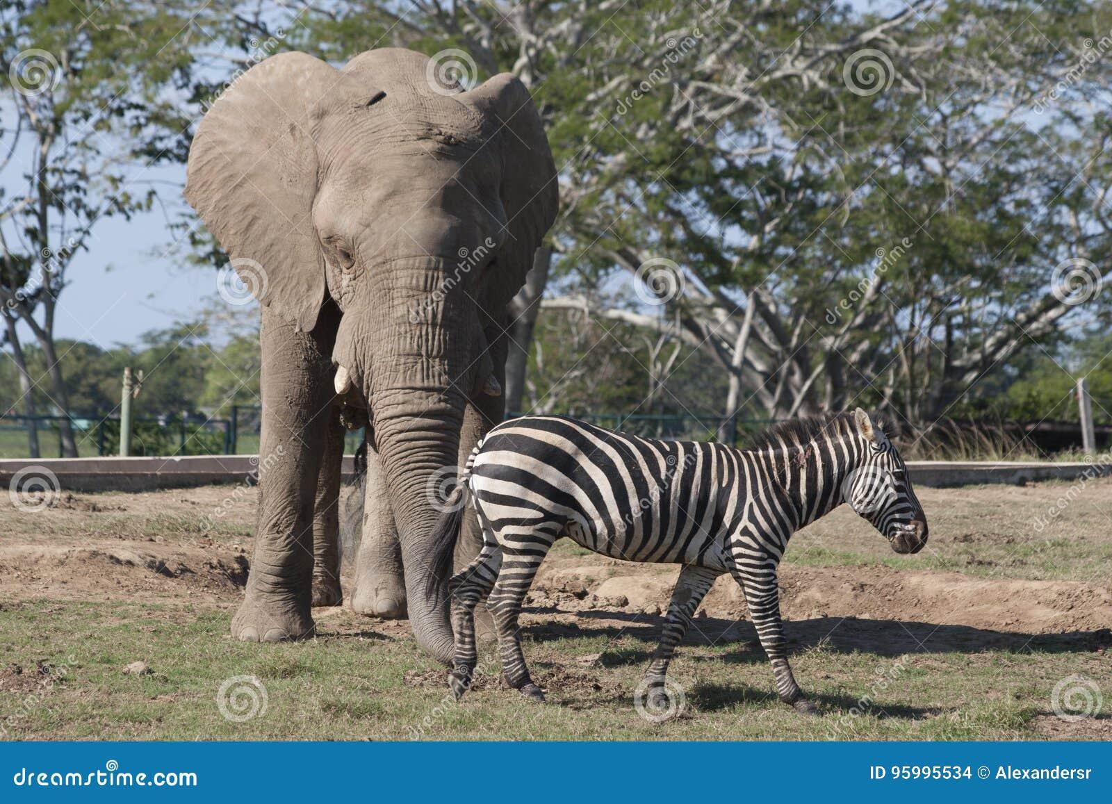 El elefante y la cebra en safari del parque zoológico parquean, Villahermosa, Tabasco, México