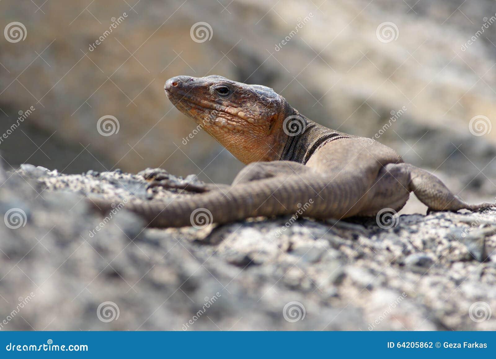 El endemic grande del lagarto gigante de Gran Canaria protegió speci del reptil