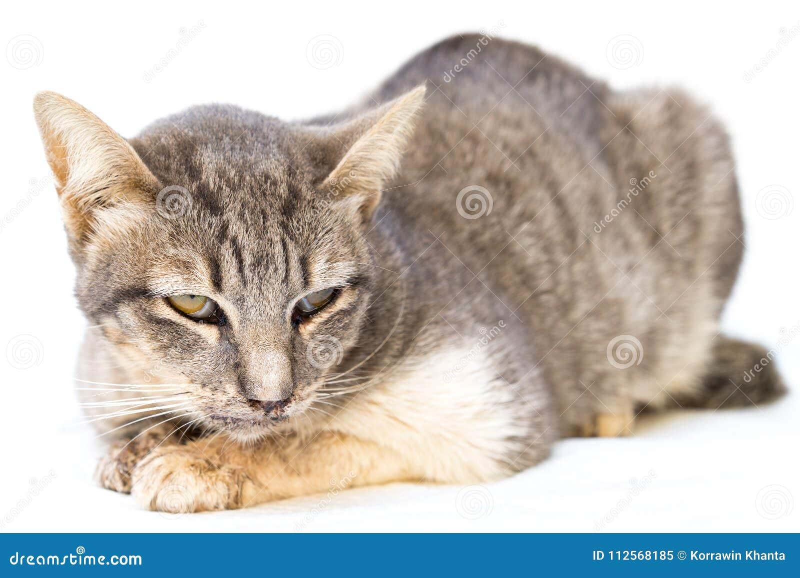 El enfermo del gato como Calicivirus felino FCV