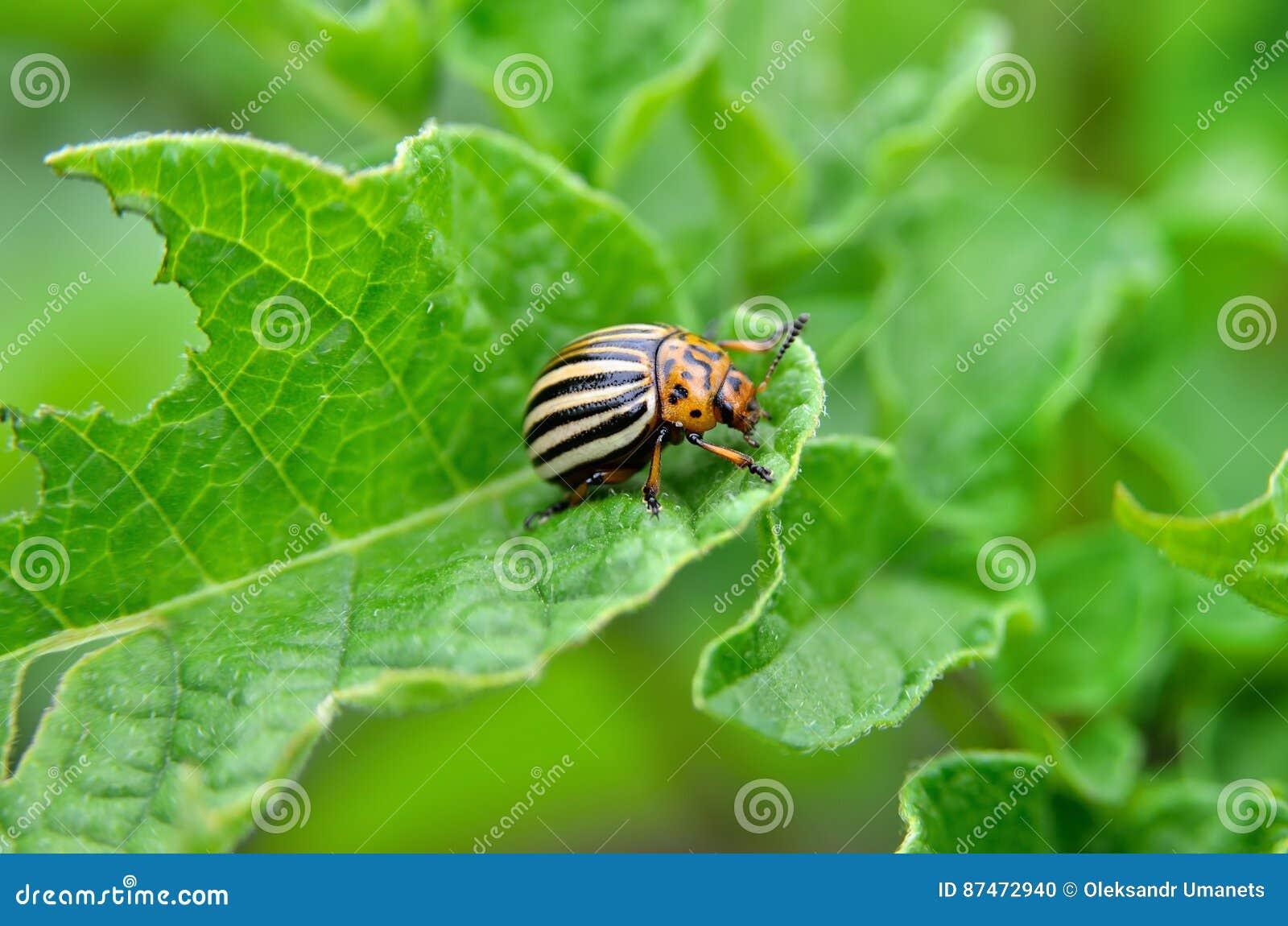 El escarabajo de la patata come las hojas de una patata jovenes Los parásitos destruyen una cosecha en el campo