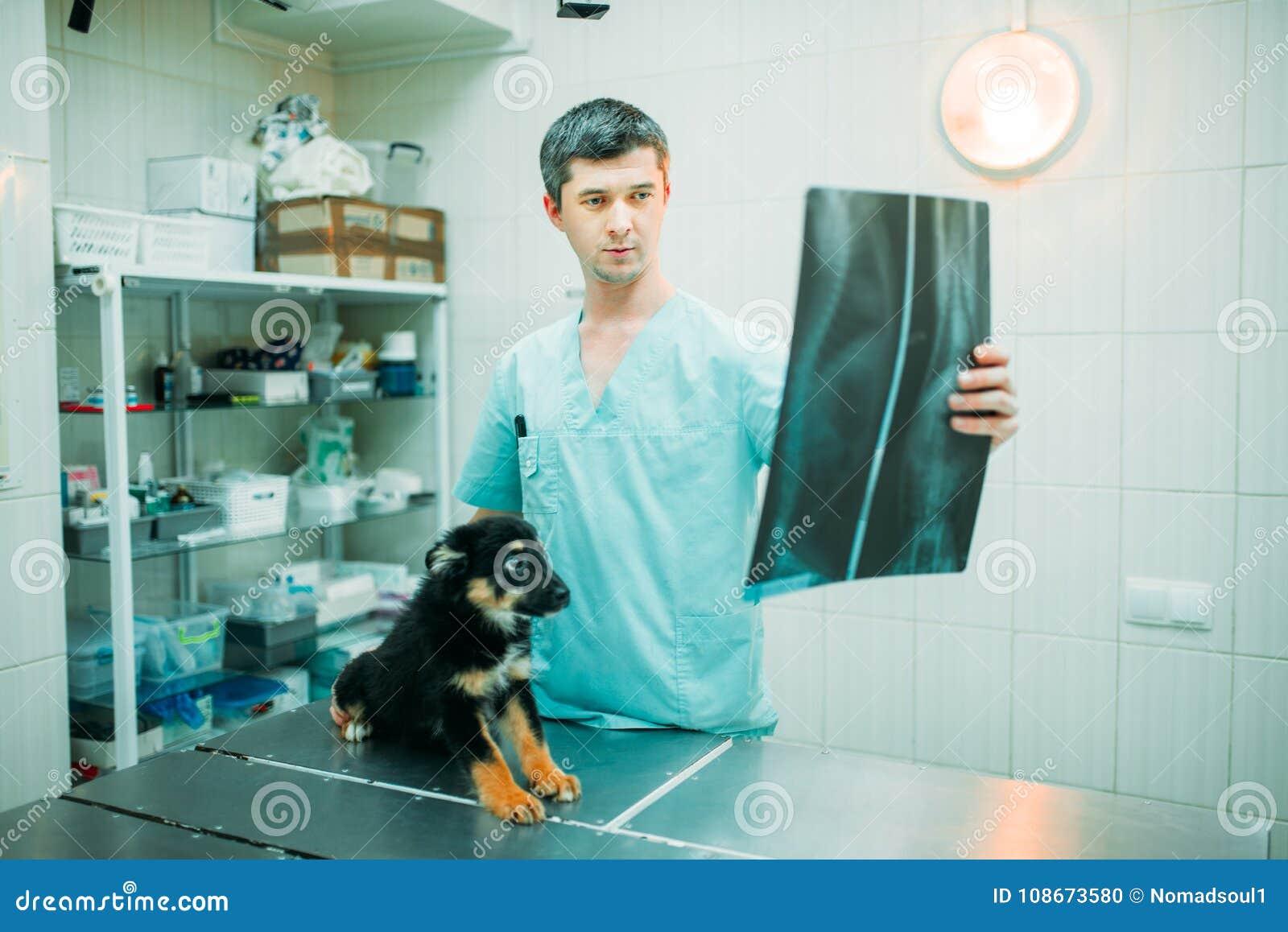 El especialista veterinario mira la radiografía del perro