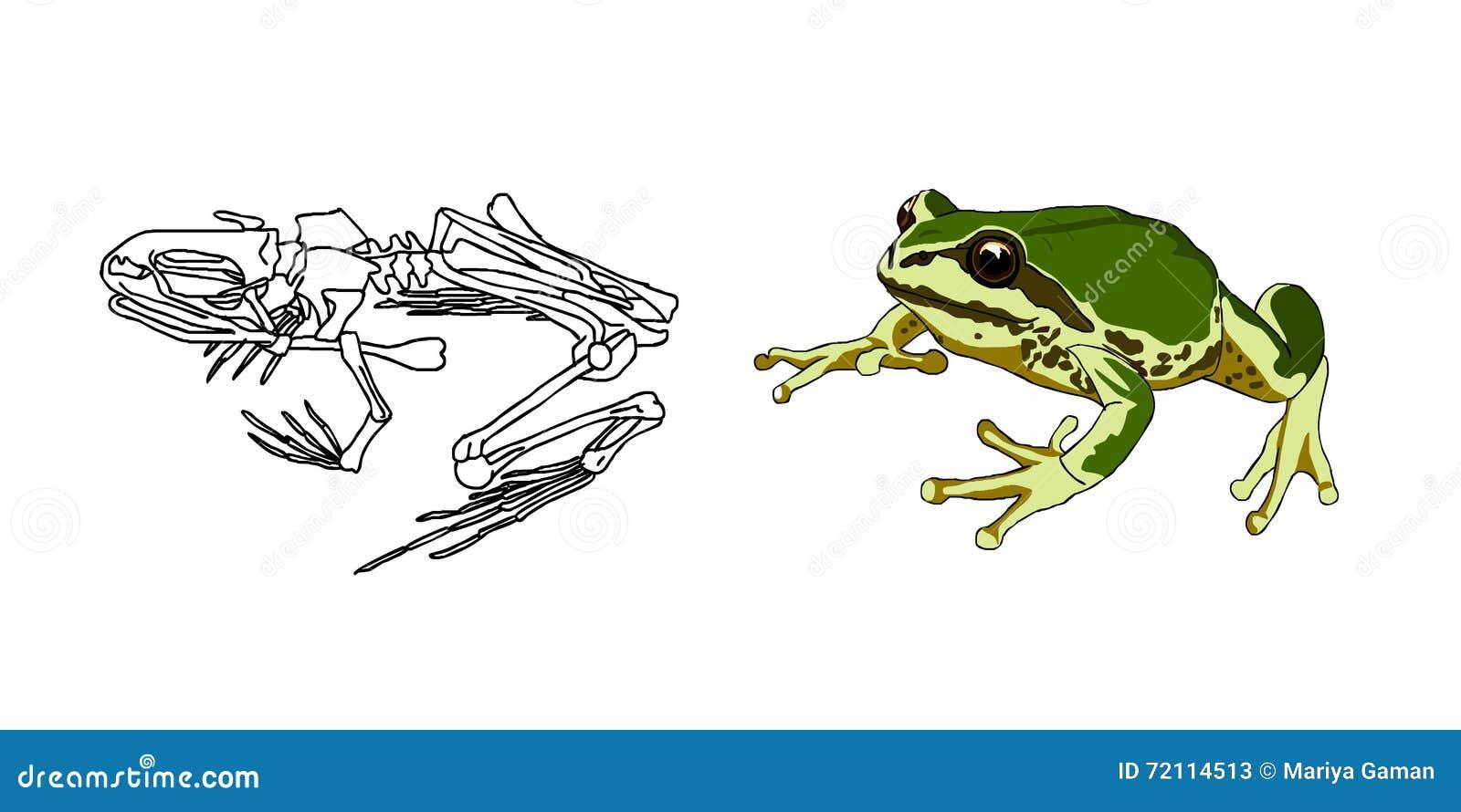 El Esqueleto De Anfibios Sapo Rana Anatomía Vector Ilustración del ...