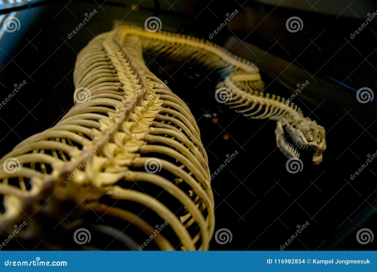 El Esqueleto De La Serpiente En El Fondo Negro Foto de archivo ...