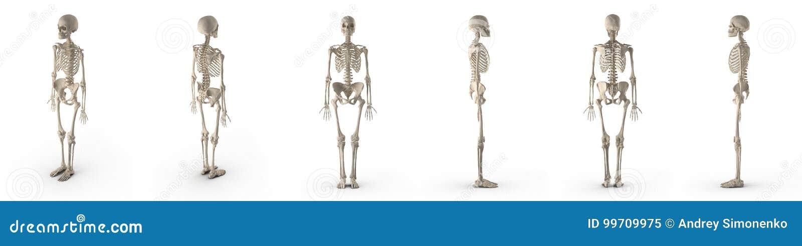 El esqueleto femenino exacto médico rinde el sistema de diversos ángulos en un blanco ilustración 3D