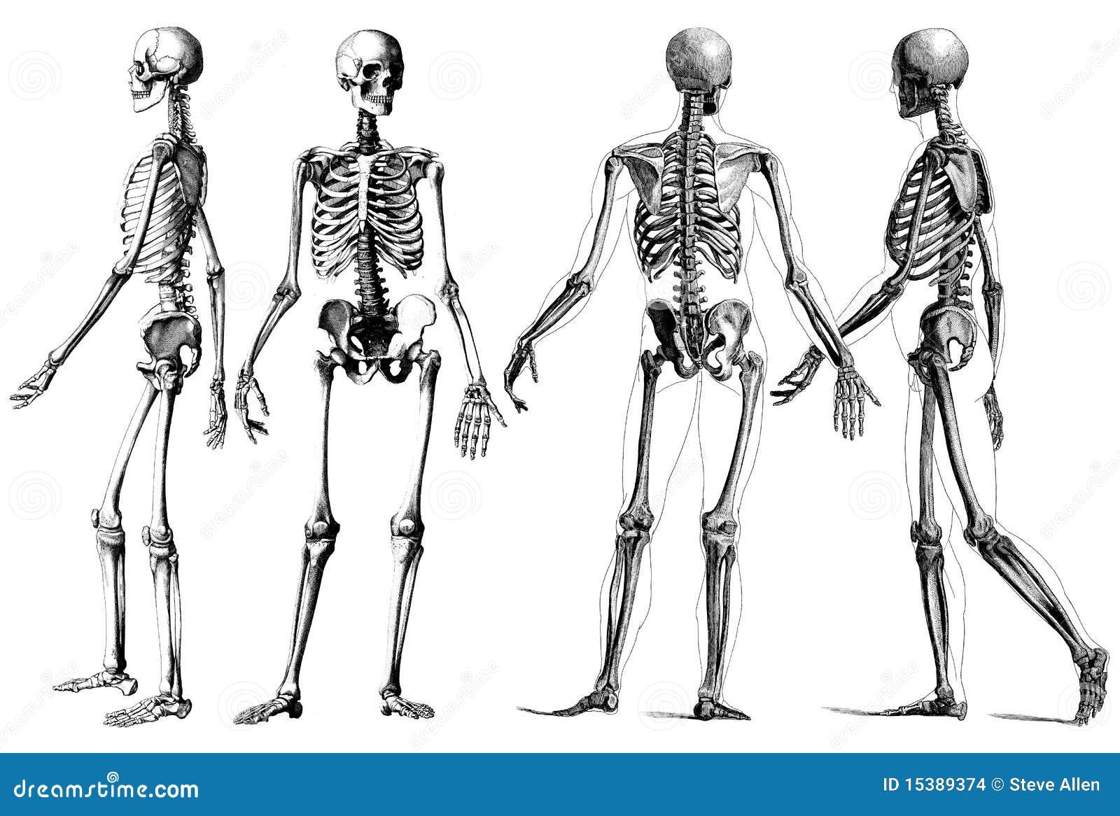 El esqueleto humano stock de ilustración. Ilustración de hombre ...