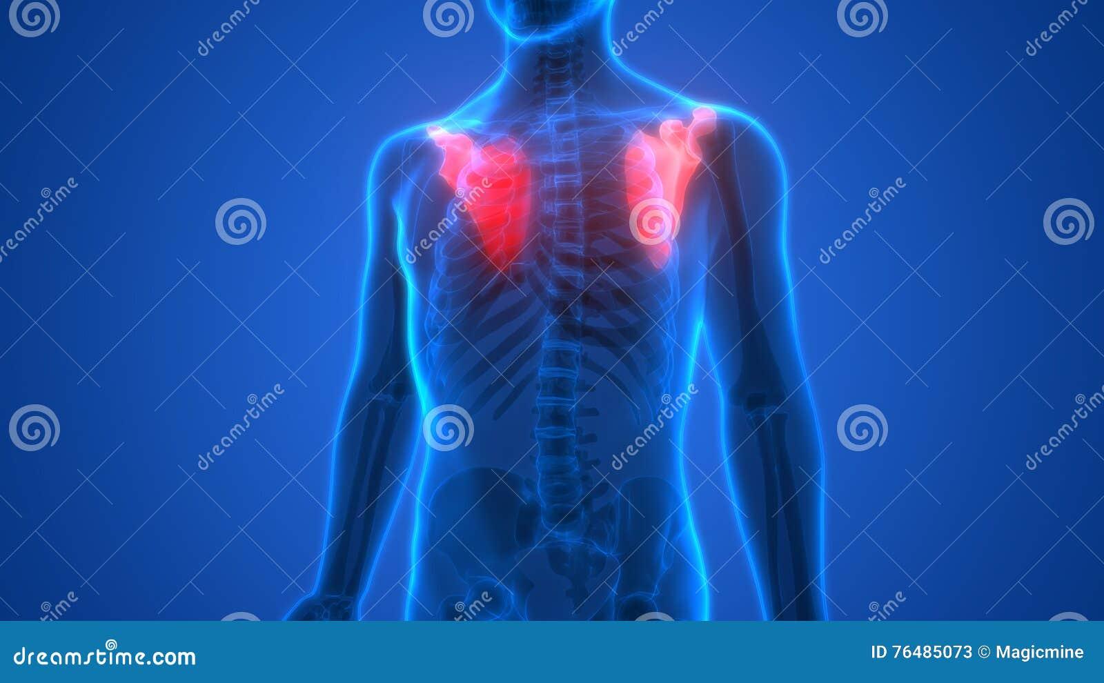 El Esqueleto Humano Deshuesa La Anatomía (los Huesos Del Omóplato ...