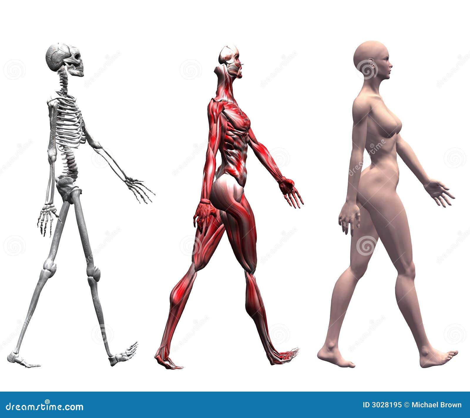 Músculos Y Esqueleto Humanos Femeninos Stock de ilustración ...