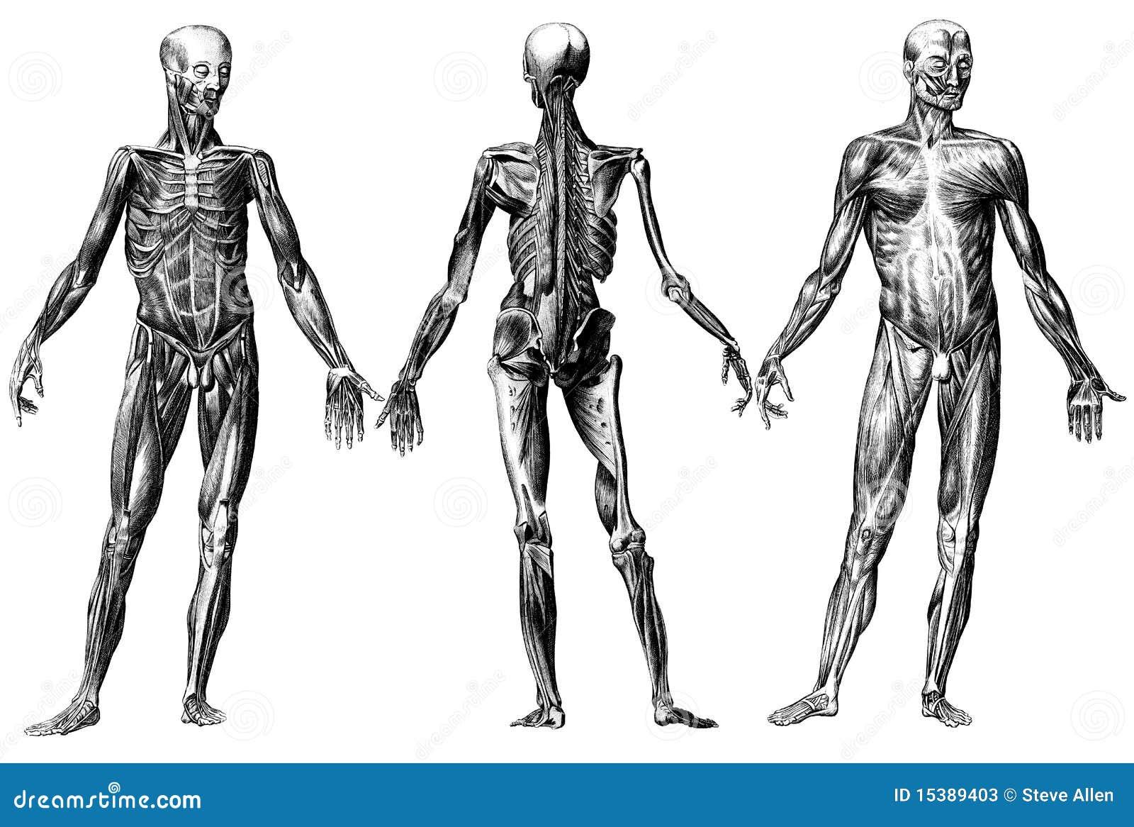 El Esqueleto Y Los Músculos Humanos Stock de ilustración ...