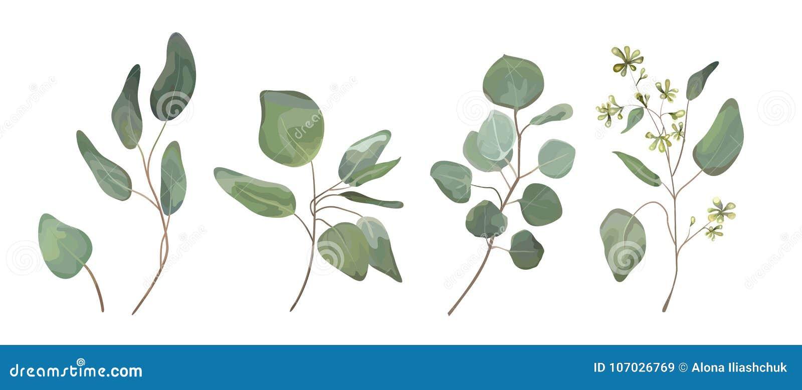El eucalipto sembró el arte del diseñador de las hojas del árbol del dólar de plata, foliag