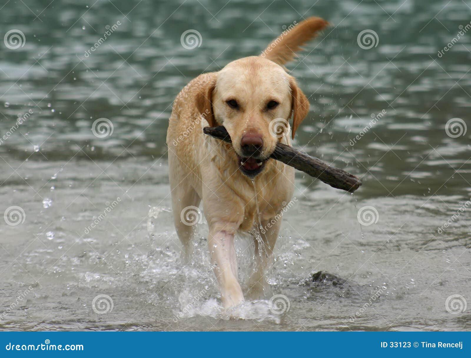 El extraer del perro perdiguero de Labradror