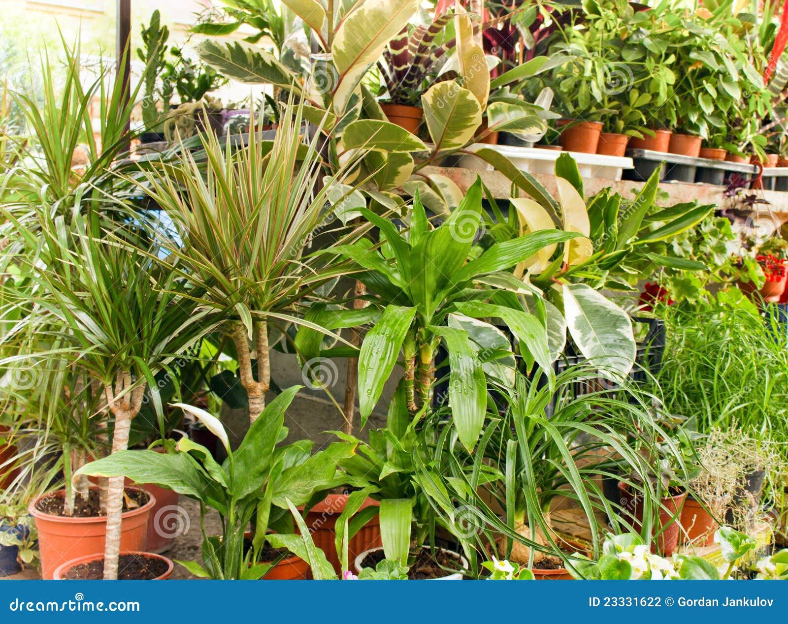 El ficus dracena es plantas decorativas for Plantas decorativas
