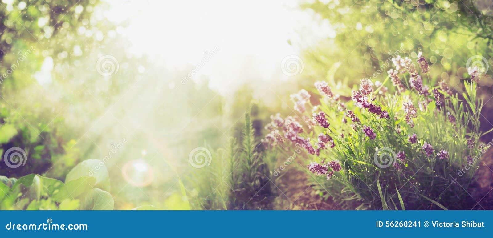 El fondo del jardín del verano con lavanda y Sun irradia, bandera para el sitio web
