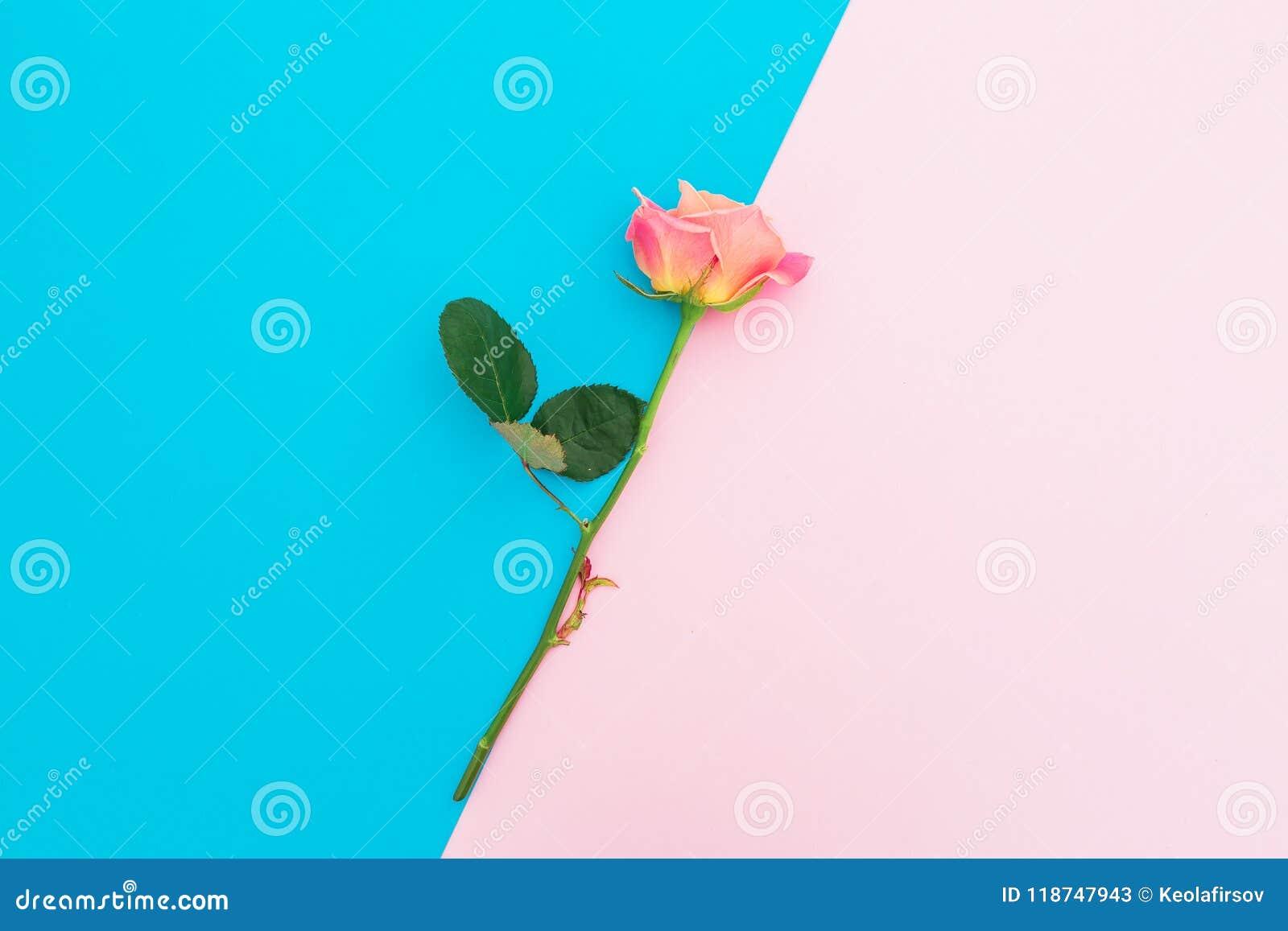 El fondo en colores pastel azul y rosado con las rosas florece Composición del arte Endecha plana Visión superior