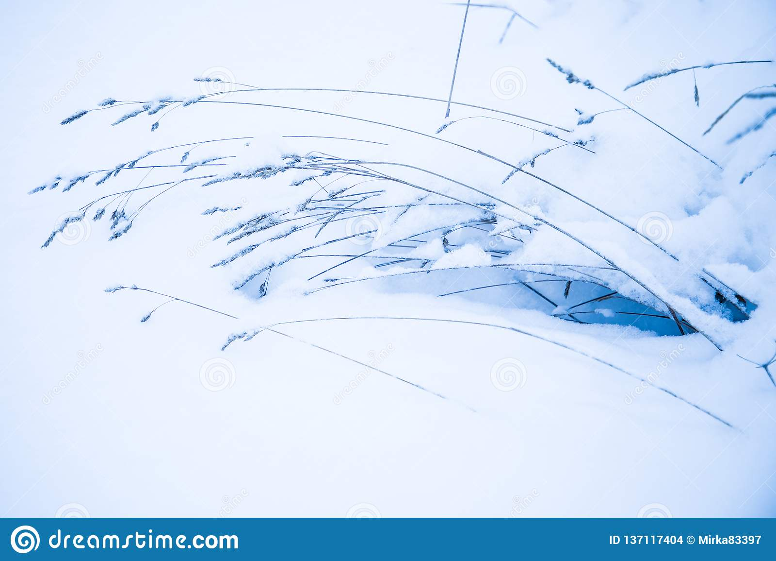 El fondo hermoso minimalistic de la naturaleza de la hierba o de la mala hierba vieja debajo de la nieve en la helada fría al día