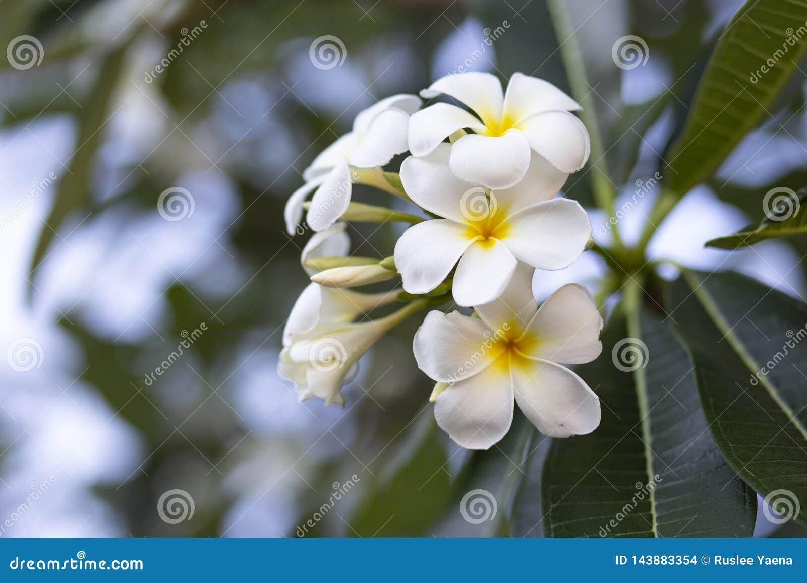 El Frangipani florece el Frangipani blanco y se va hermoso, concepto: Símbolos de relajación del perfume del aroma del balneario,
