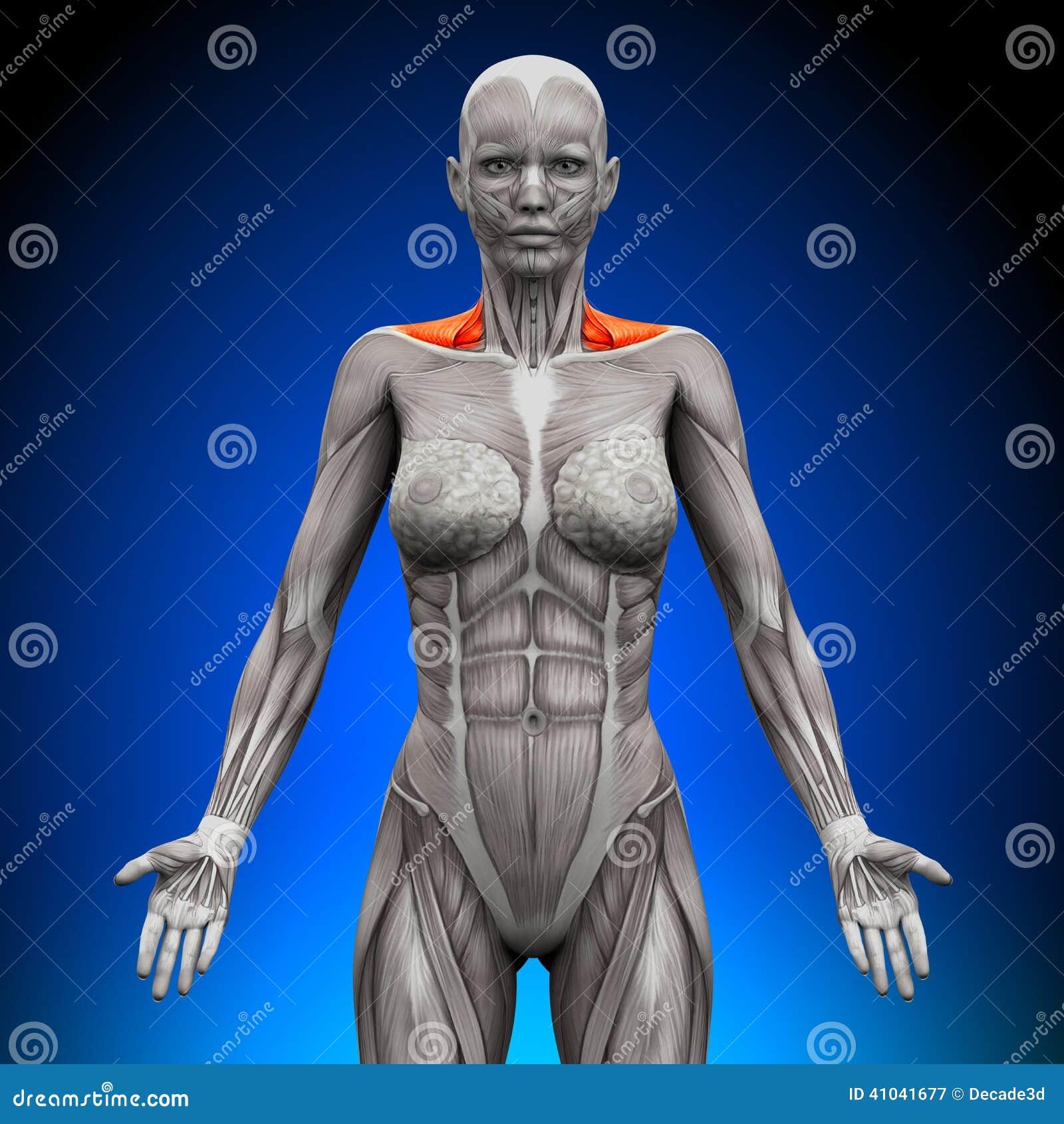 El Frente/el Cuello Del Trapecio Muscles - La Anatomía Femenina ...