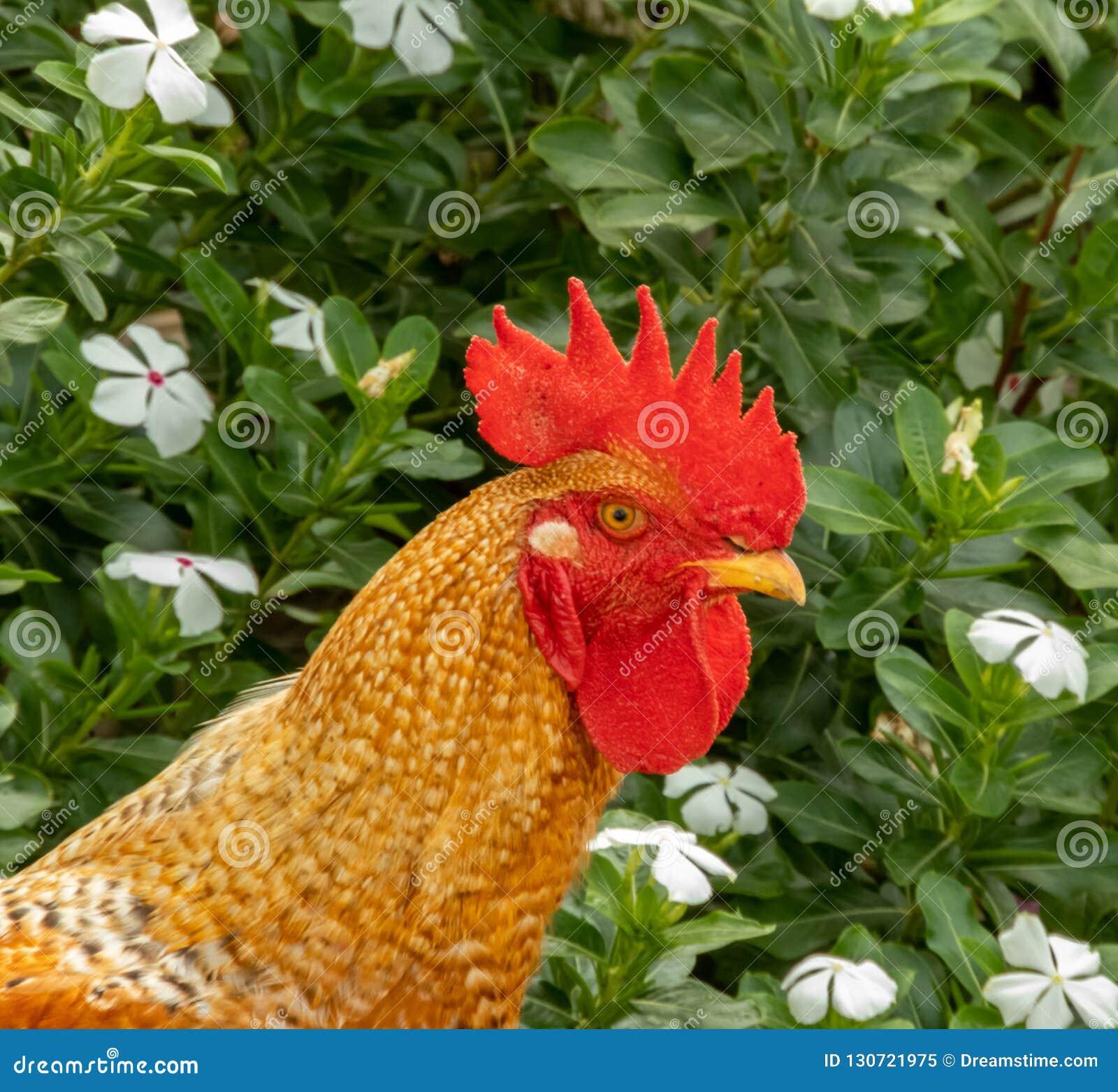 El gallo del campo