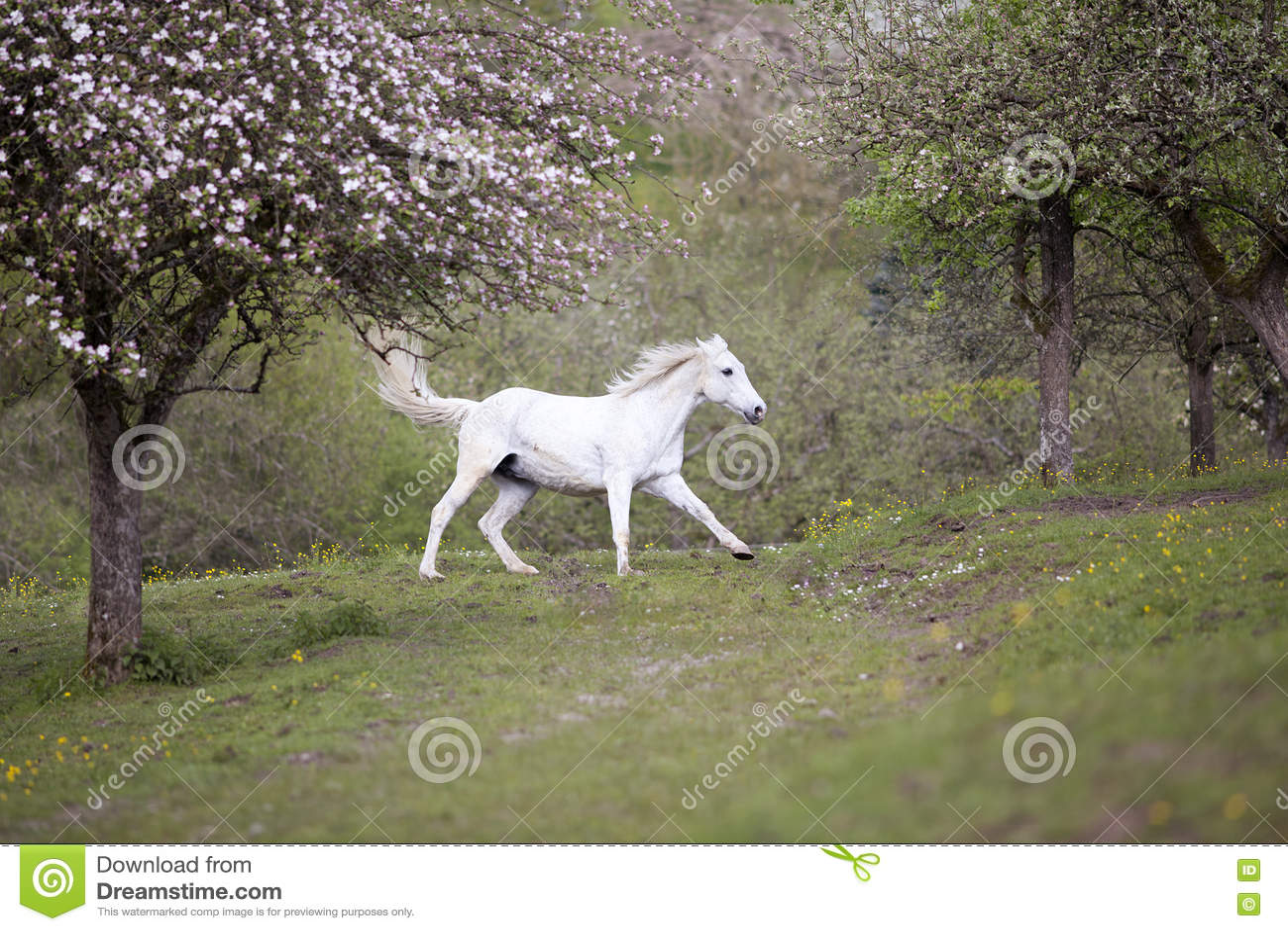 El galope del caballo blanco libera en prado en primavera