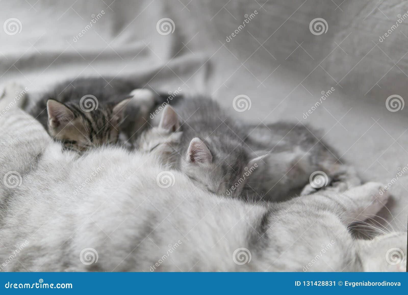 El gato alimenta gatitos con leche