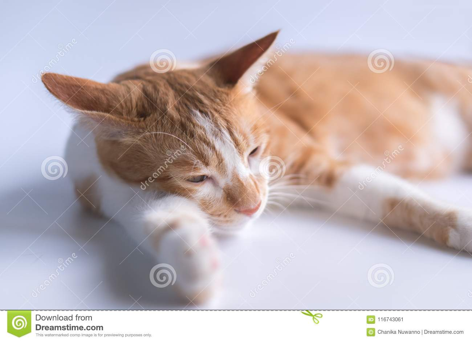 El gato anaranjado es soñoliento y mirada presuntuoso