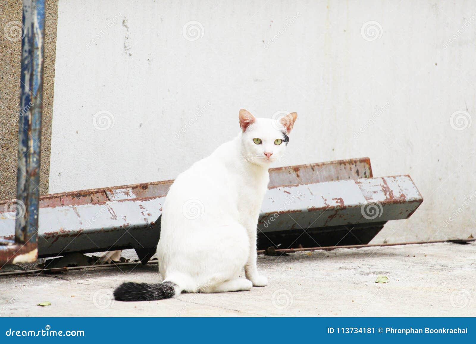 El gato blanco en Tailandia se está sentando